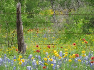 Texas  bluebonnets photo by billie sucher
