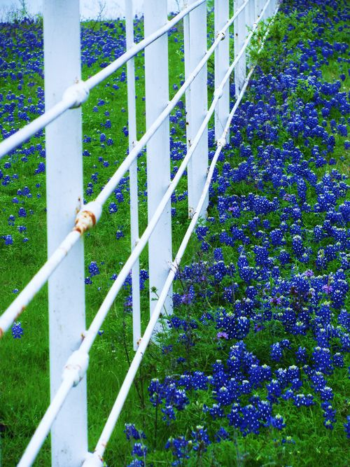 Texas Bluebonnets 2014 copyright billie sucher 430