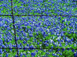 Texas Bluebonnets 2014 copyright billie sucher 136