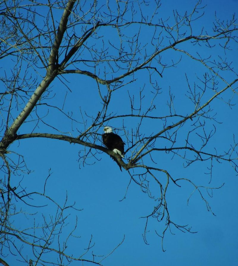 Eagle photo by billie sucher 2015